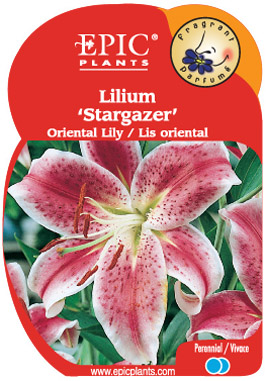 Lilium 