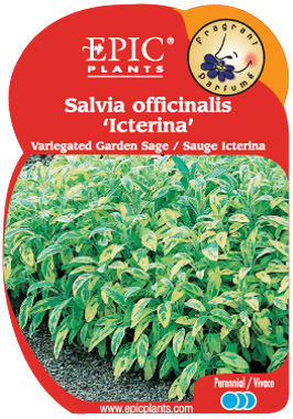 Salvia 