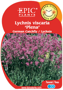 Lychnis 
