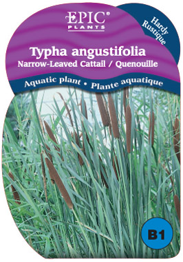 Typha 
